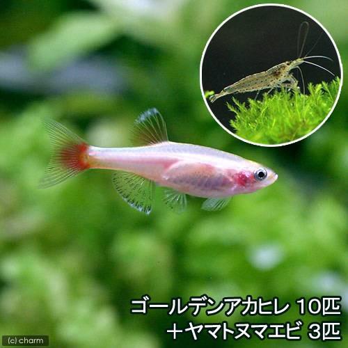 熱帯魚 ゴールデンアカヒレ 10匹 贈物 3匹 北海道航空便要保温 いつでも送料無料 ヤマトヌマエビ