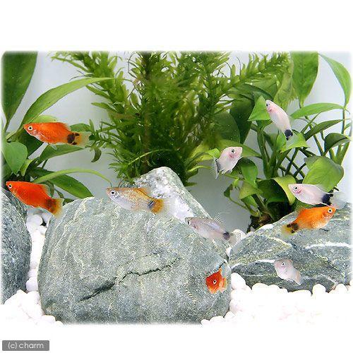 熱帯魚 完全送料無料 ミックスプラティ セール特別価格 12匹 北海道航空便要保温