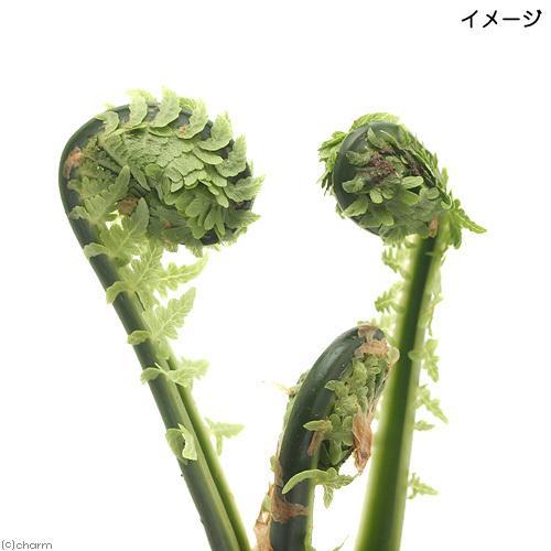 店舗 山野草 シダ 羊歯 コゴミ 通販 クサソテツ 3〜4号 家庭菜園 1ポット 山菜
