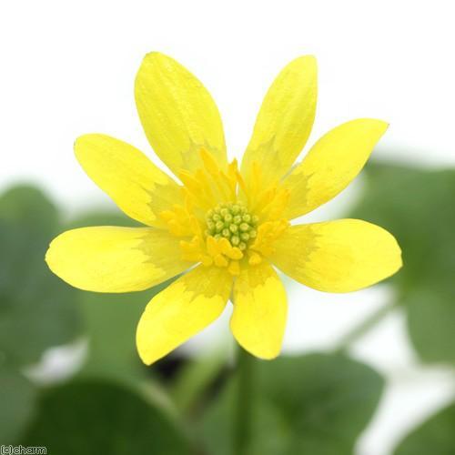 ビオトープ 水辺植物 送料無料激安祭 姫リュウキンカ 姫立金花 1ポット 黄系 湿性植物 休眠株 贈答品