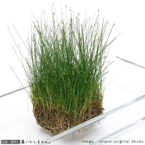卸売り 水草 ヘアーグラス ショート 水上葉 無農薬 2シート分 土付き 60cm水槽用 新作続