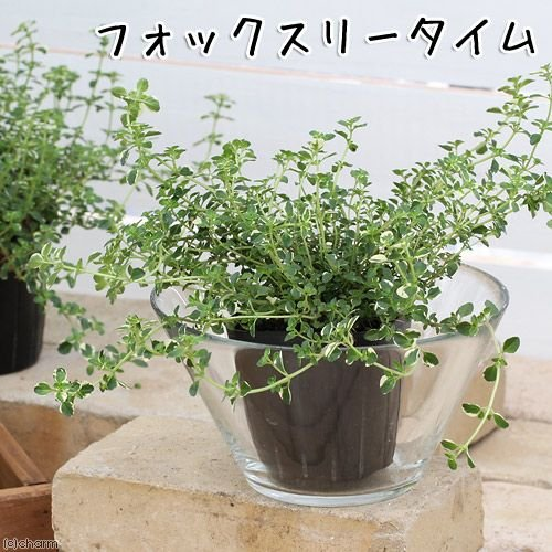 観葉植物 ハーブ苗 特売 タイム 2020A W新作送料無料 フォックスリータイム 家庭菜園 3号 1ポット