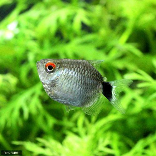 熱帯魚 バルーン モンクホーシャ 北海道航空便要保温 人気商品 商店 4匹