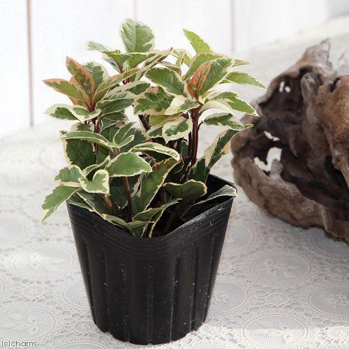 山野草 盆栽 十両 プレゼント 新生活 斑入りヤブコウジ 1ポット 3号 藪柑子