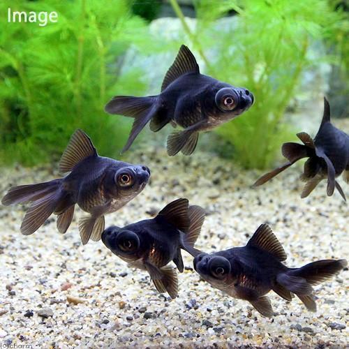 国産金魚 出目金 1匹 買取 贈与 黒