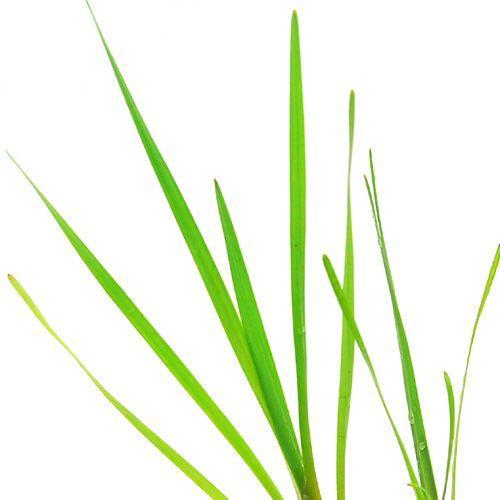 バースデー 記念日 ギフト 贈物 お勧め 通販 ビオトープ モデル着用 注目アイテム 水辺植物 ミクリ 抽水植物 1ポット