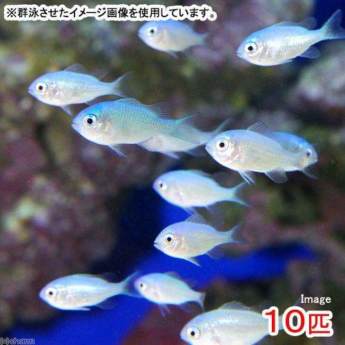 (海水魚)デバスズメダイ SSサイズ(10匹) 北海道航空便要保温