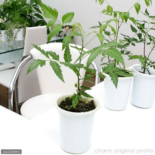 植物 虫除け 観葉