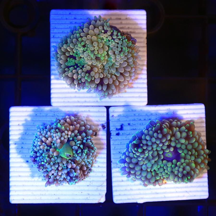 (サンゴ)カリビアンバブルディスク ライトグリーン プレート付き(1個) 北海道航空便要保温