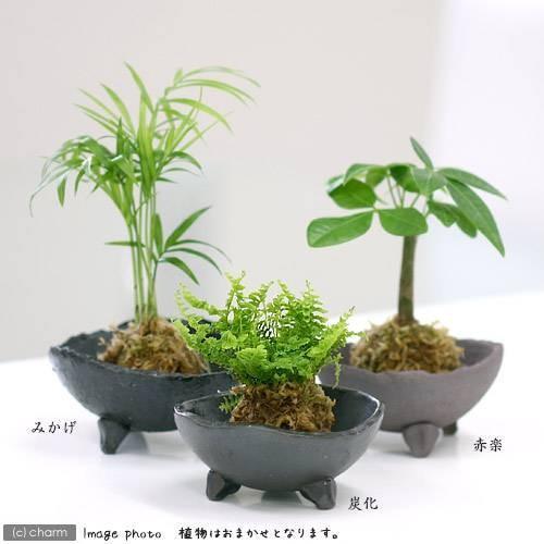 観葉植物 苔玉 おまかせ観葉 コケ玉 格安店 1個 タイムセール Ver.水苔