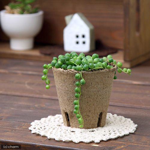 観葉植物 結婚祝い グリーンネックレス 3号 WEB限定 1ポット