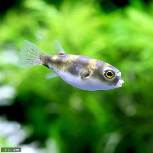 熱帯魚 南米淡水フグ ◆在庫限り◆ 北海道航空便要保温 1匹 絶品