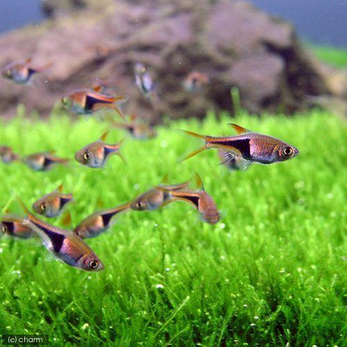 熱帯魚 まとめ買い特価 ラスボラ 秀逸 ヘテロモルファ 北海道航空便要保温 12匹