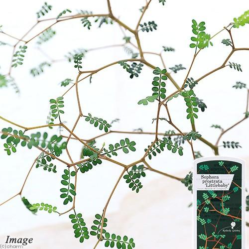 高い素材 観葉植物 メルヘンの木 ソフォラ 3号 1ポット リトルベイビー バーゲンセール