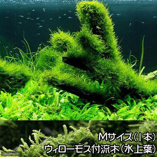 水草 育成済 ウィローモス 流木 新作アイテム毎日更新 1本 約20cm Mサイズ 実物 無農薬