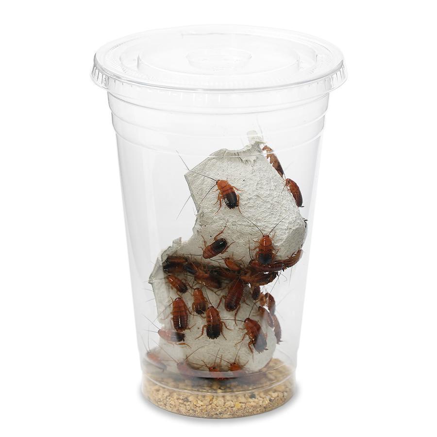 生餌 レッドローチ Mサイズ 1カップ分 爬虫類 メイルオーダー 餌 高額売筋 大型魚 エサ