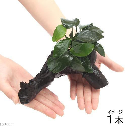 新作入荷!! 水草 アヌビアスナナ 流木付 約20cm Mサイズ アウトレット 1本