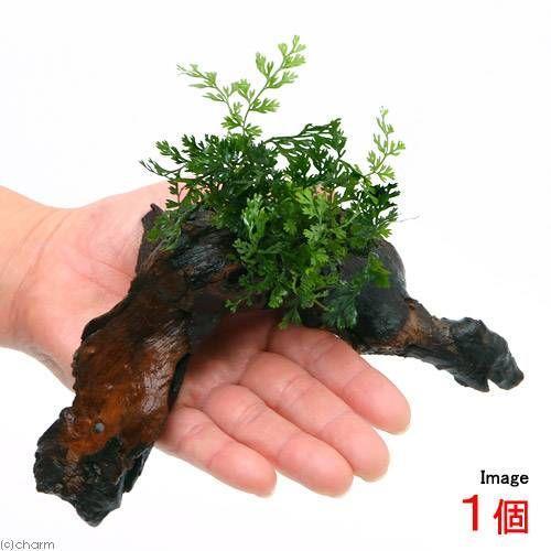 テラリウム ボルビティスsp.ベビーリーフ付 流木 1本 Sサイズ 約15cm ランキングTOP10 入荷予定
