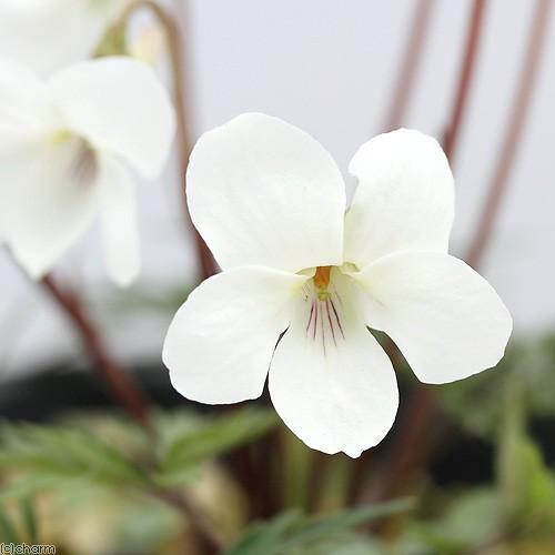 山野草 スミレ 菫 安値 ヒゴスミレ 3号 1ポット 肥後菫 おしゃれ