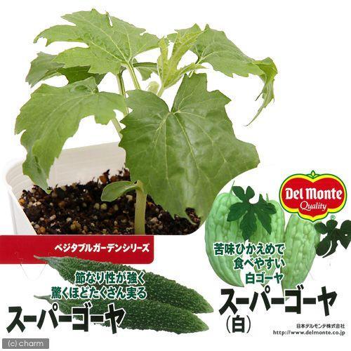 観葉植物 デルモンテ 野菜苗 スーパーゴーヤ 白 3号 毎日激安特売で 営業中です 緑のカーテン 期間限定送料無料 1ポット 家庭菜園 苦味ひかえめ