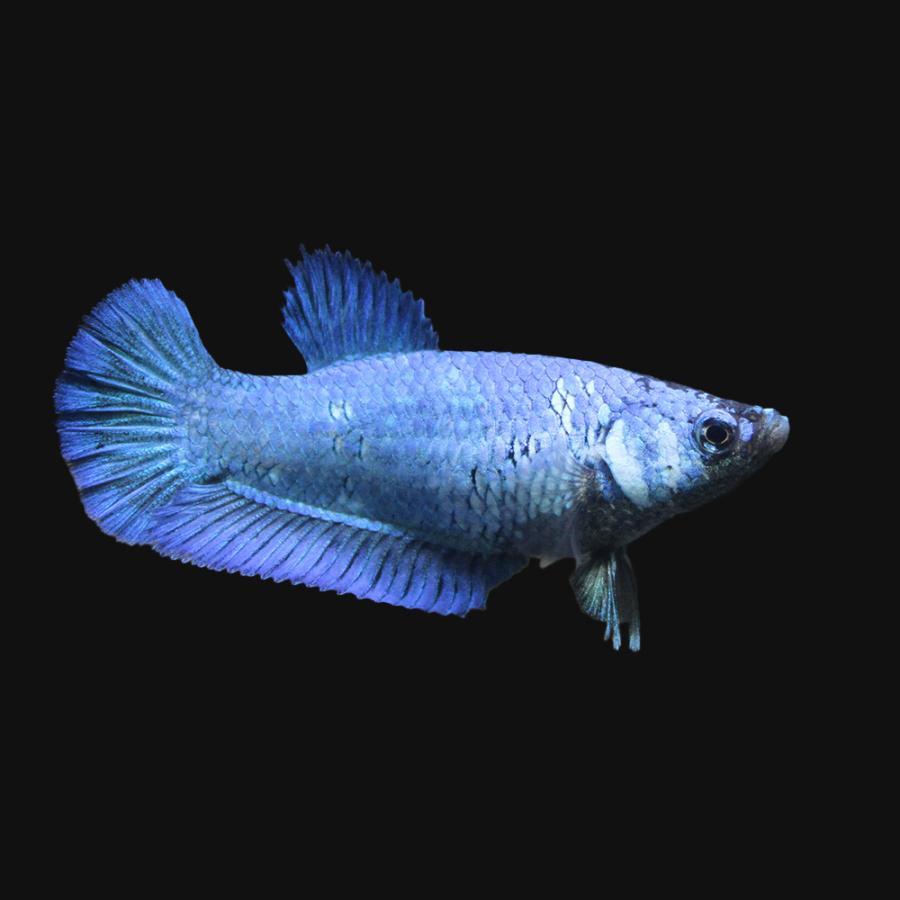 熱帯魚 ベタ スーパーデルタテール 即日出荷 色指定なし 1匹 価格交渉OK送料無料 メス 北海道航空便要保温
