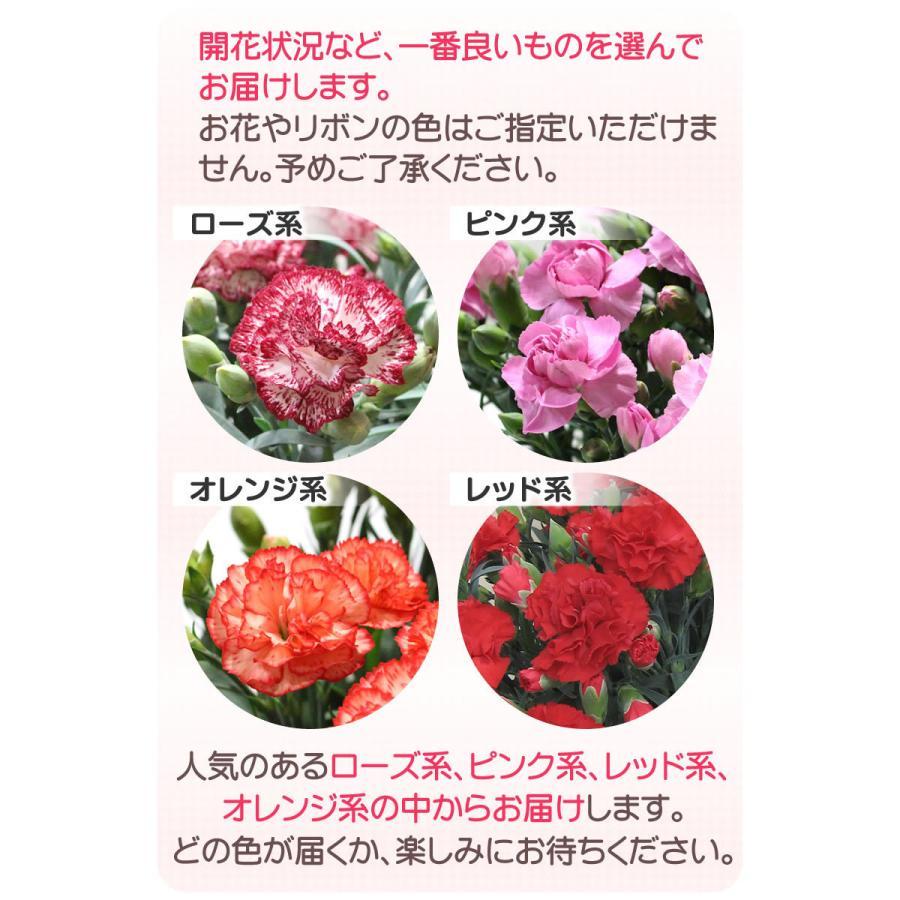母の日 カーネーション 花 2021 プレゼント 花とスイーツ 早割 鉢植え 5号鉢 スイーツ 和菓子 栗きんとん 中津川 送料無料 ギフト ちこり村|chicory|11