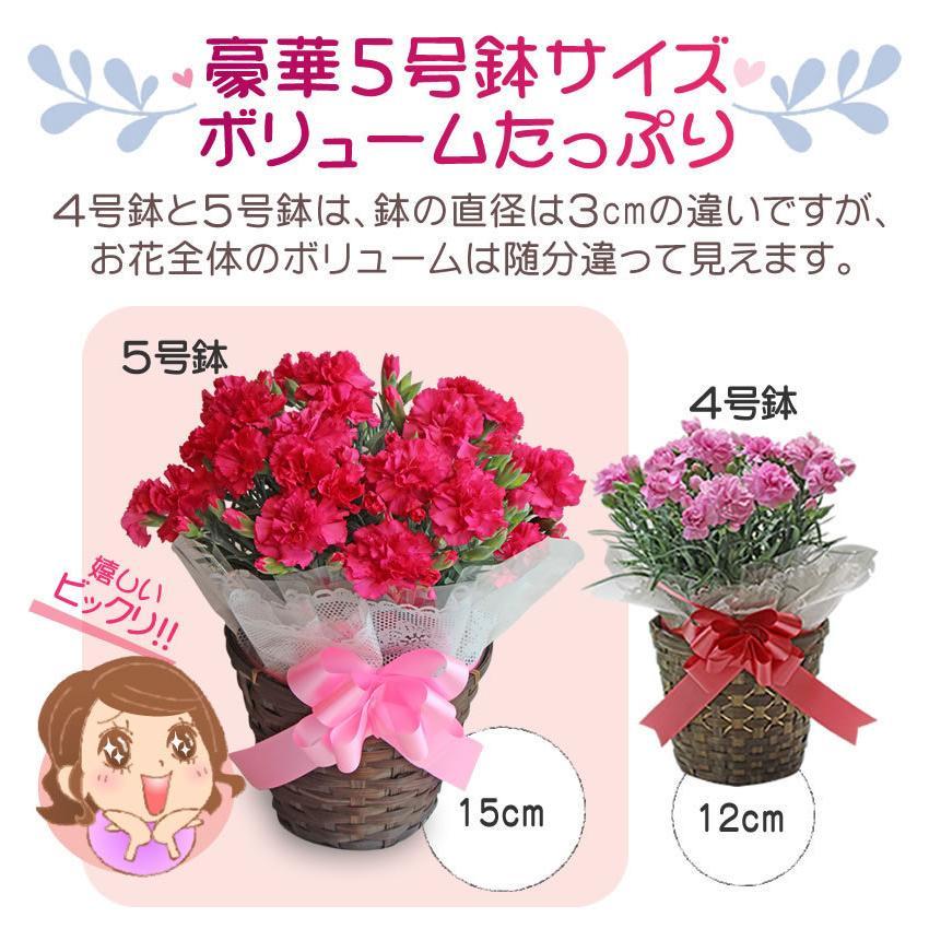 母の日 カーネーション 花 2021 プレゼント 花とスイーツ 早割 鉢植え 5号鉢 スイーツ 和菓子 栗きんとん 中津川 送料無料 ギフト ちこり村|chicory|07