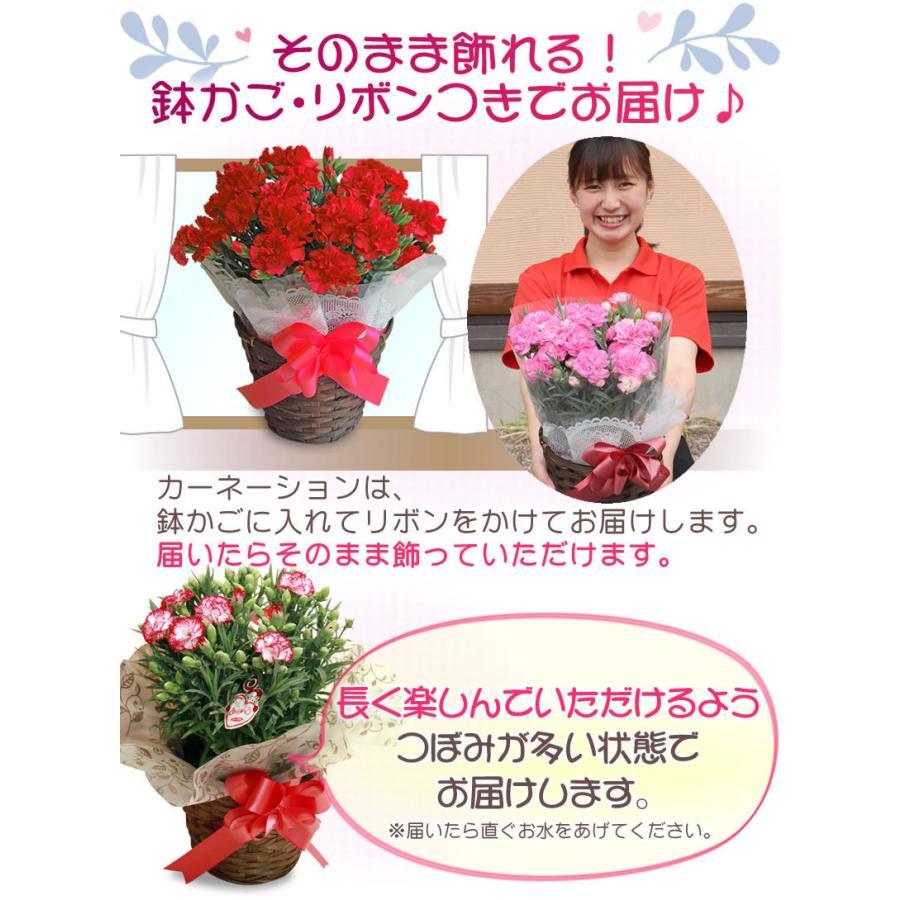 母の日 カーネーション 花 2021 プレゼント 花とスイーツ 早割 鉢植え 5号鉢 スイーツ 和菓子 栗きんとん 中津川 送料無料 ギフト ちこり村|chicory|10
