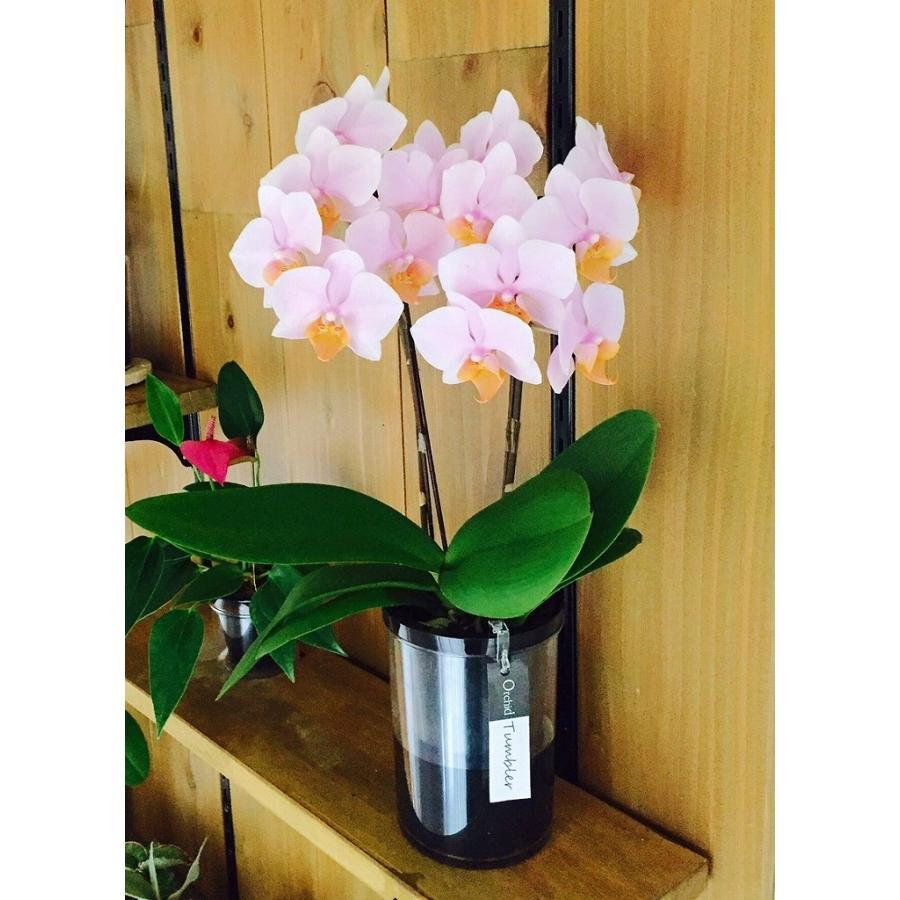 自宅用 [宅送] 椎名洋ラン園の胡蝶蘭 生花 タンブラーポット 毎日がバーゲンセール 2本立ち