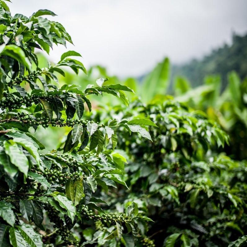 【CP】 タンザニア キリマンジャロ (100g)   【コーヒー豆 合計500gの注文でクリックポスト送料無料】|coffeemeetsbagels|02