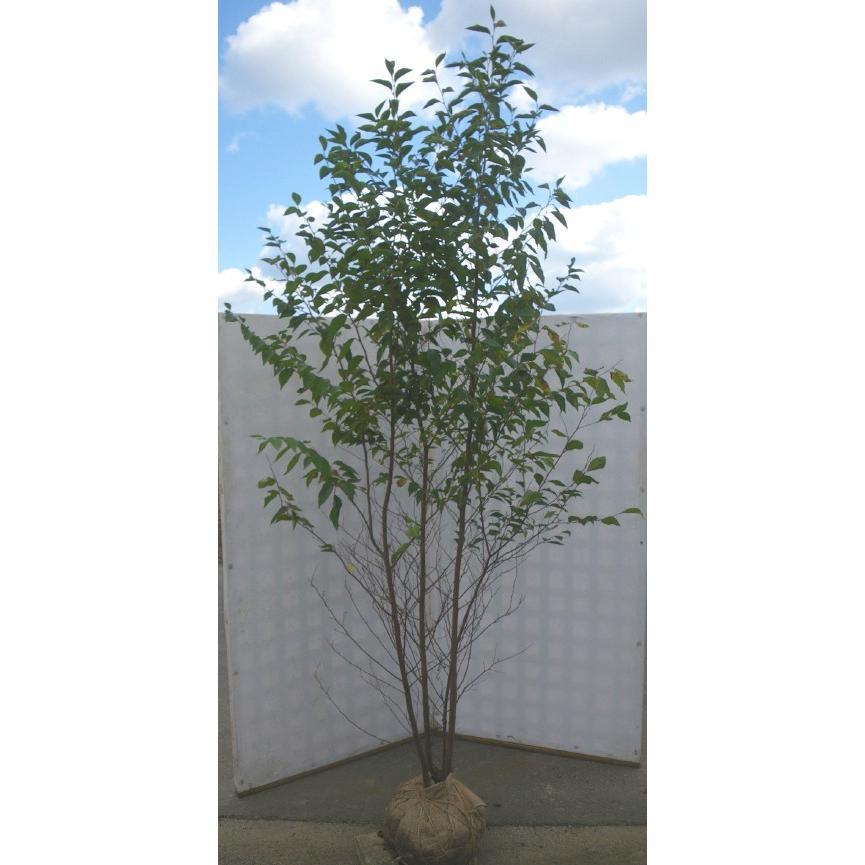 エゴの木 株立ち 約2.5m エゴノ...