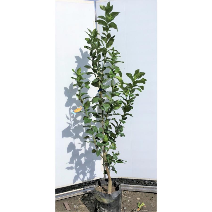 の 木 レモン レモンの木を農家からお届け【紀州紀ノ川 観音山フルーツガーデン】