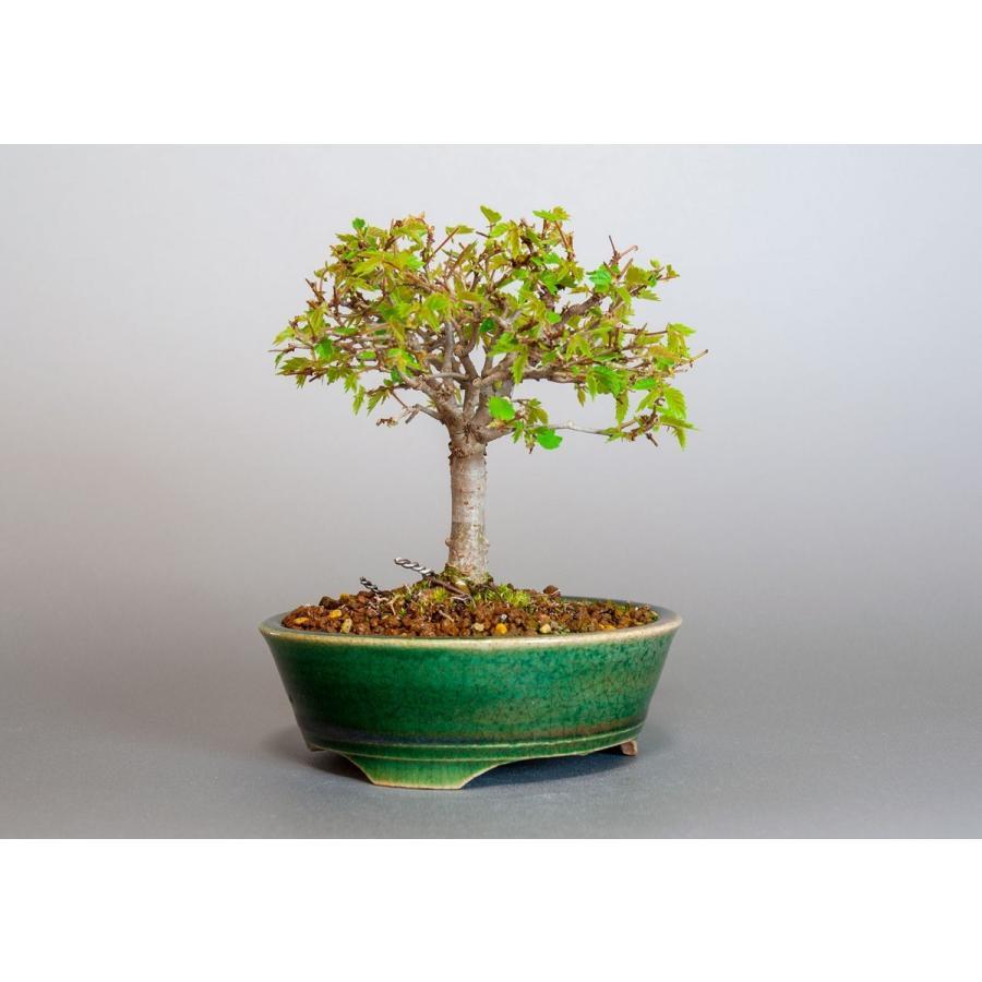 盆栽 ケヤキ盆栽 欅(けやき・小さな盆栽 箒立ち欅)3814 e-bonsai 04