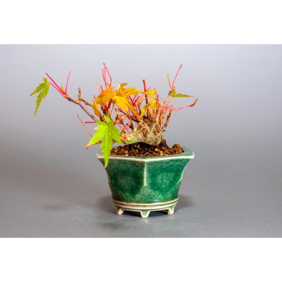 プチ盆栽 イロハモミジ盆栽(いろは紅葉 プチ盆栽)小さな盆栽 3906 e-bonsai 03