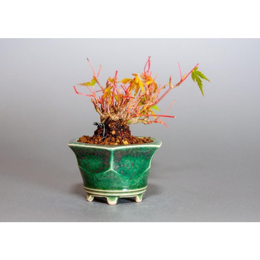 プチ盆栽 イロハモミジ盆栽(いろは紅葉 プチ盆栽)小さな盆栽 3906 e-bonsai 04