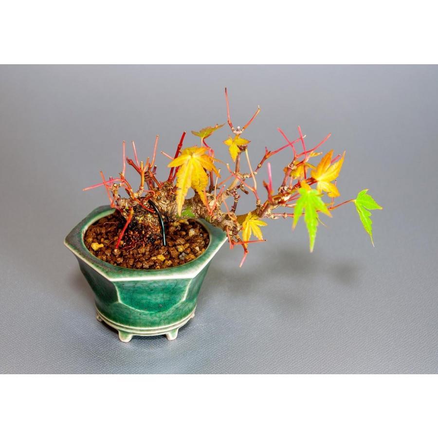 プチ盆栽 イロハモミジ盆栽(いろは紅葉 プチ盆栽)小さな盆栽 3906 e-bonsai 05