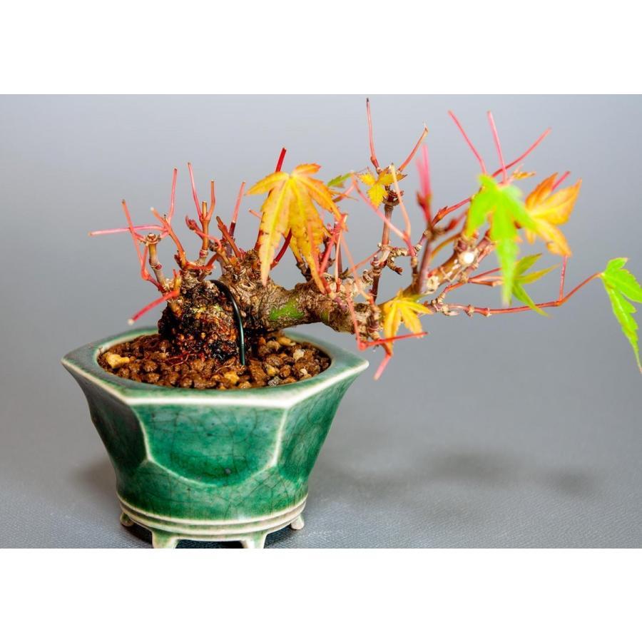 プチ盆栽 イロハモミジ盆栽(いろは紅葉 プチ盆栽)小さな盆栽 3906 e-bonsai 06
