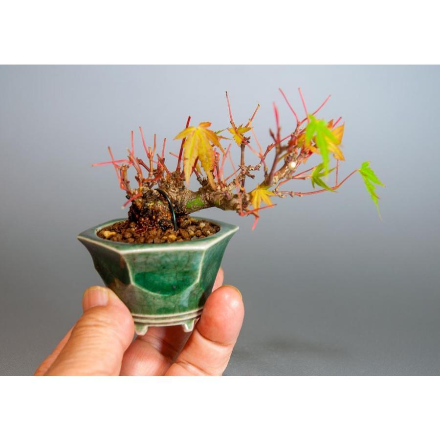 プチ盆栽 イロハモミジ盆栽(いろは紅葉 プチ盆栽)小さな盆栽 3906 e-bonsai 07