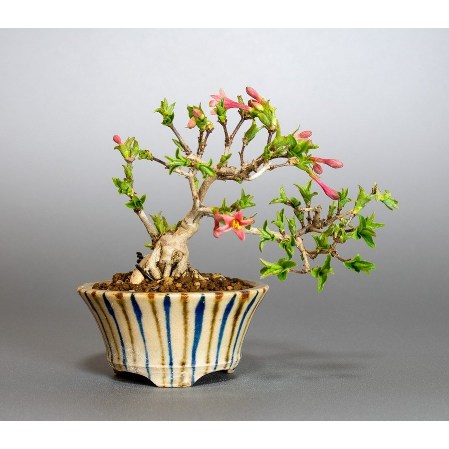 ミニ盆栽 ウグイスカグラ盆栽 鶯神楽(うぐいすかぐら・小さな盆栽 鶯神楽)小盆栽 4042|e-bonsai