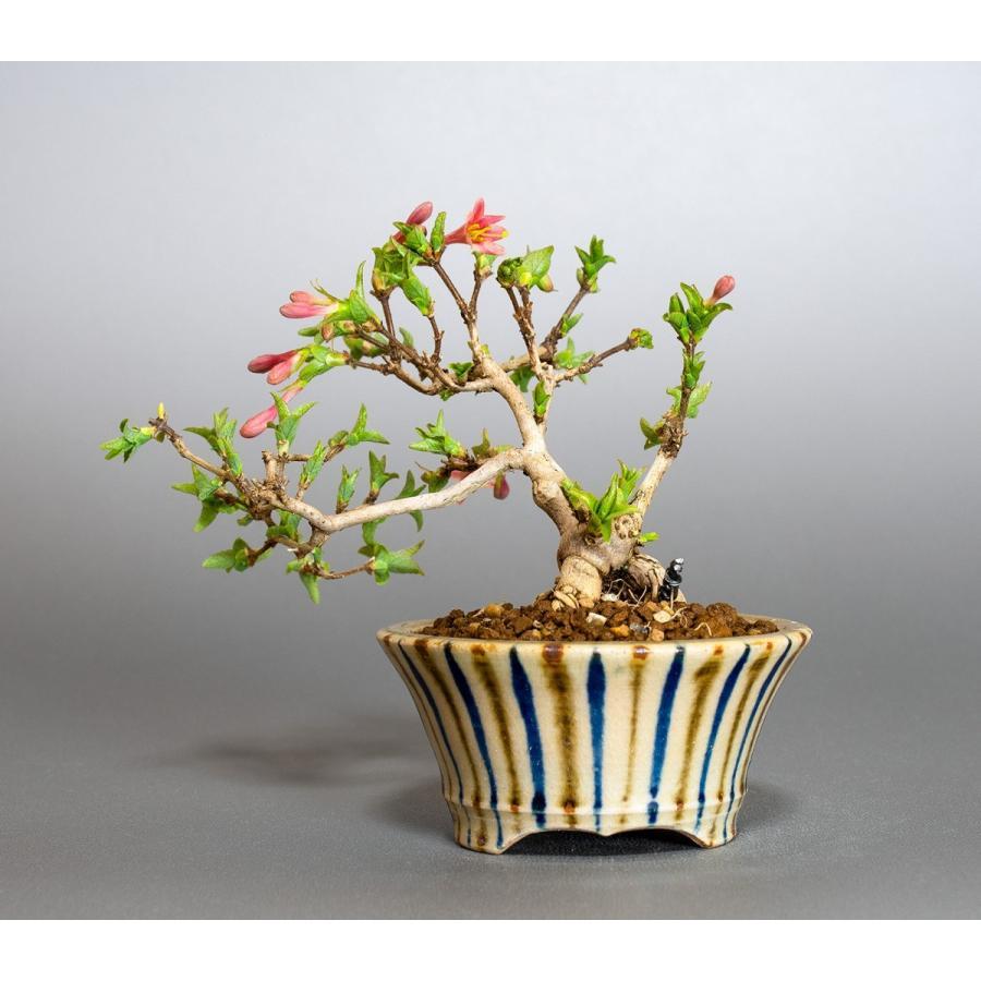 ミニ盆栽 ウグイスカグラ盆栽 鶯神楽(うぐいすかぐら・小さな盆栽 鶯神楽)小盆栽 4042|e-bonsai|02