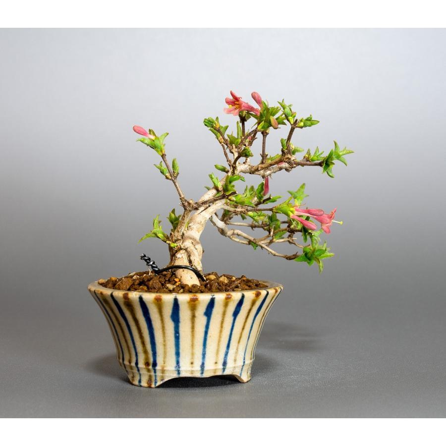 ミニ盆栽 ウグイスカグラ盆栽 鶯神楽(うぐいすかぐら・小さな盆栽 鶯神楽)小盆栽 4042|e-bonsai|03