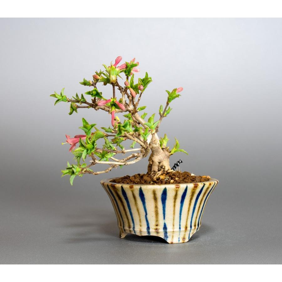 ミニ盆栽 ウグイスカグラ盆栽 鶯神楽(うぐいすかぐら・小さな盆栽 鶯神楽)小盆栽 4042|e-bonsai|04