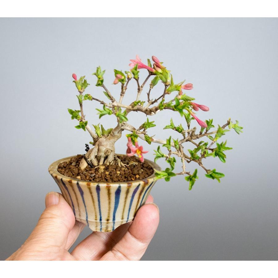 ミニ盆栽 ウグイスカグラ盆栽 鶯神楽(うぐいすかぐら・小さな盆栽 鶯神楽)小盆栽 4042|e-bonsai|05