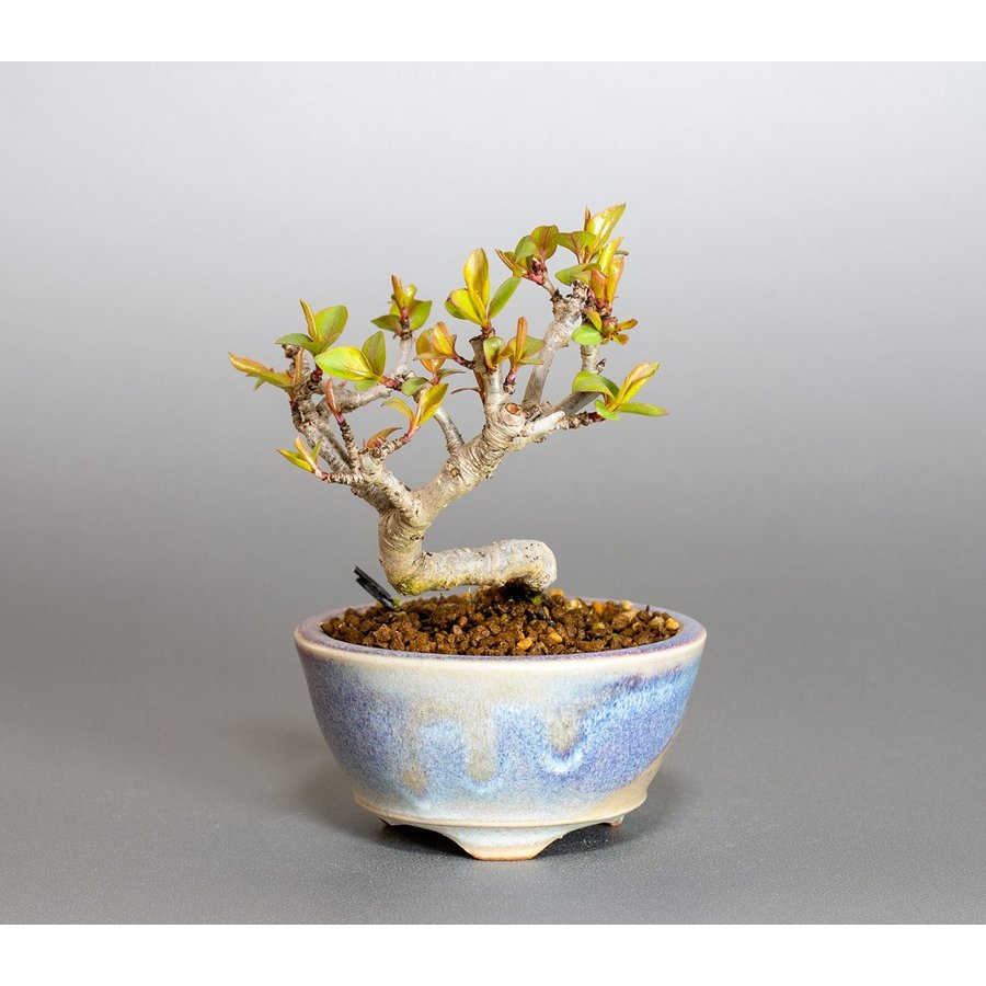 ミニ盆栽 マメナシ盆栽 豆梨(まめなし・小さな盆栽 豆梨)小盆栽 4049|e-bonsai