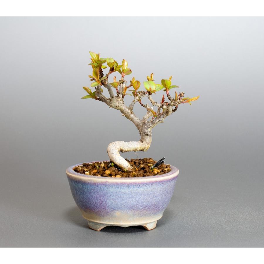 ミニ盆栽 マメナシ盆栽 豆梨(まめなし・小さな盆栽 豆梨)小盆栽 4049|e-bonsai|02