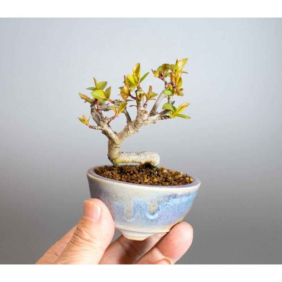 ミニ盆栽 マメナシ盆栽 豆梨(まめなし・小さな盆栽 豆梨)小盆栽 4049|e-bonsai|05
