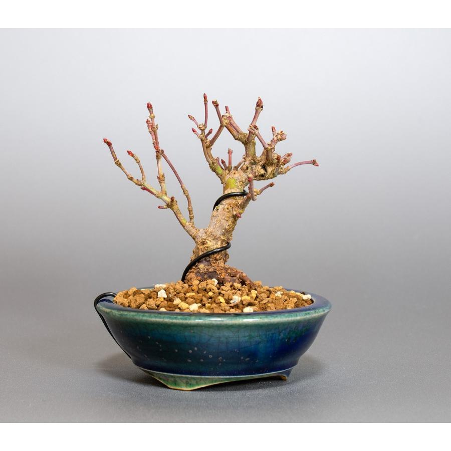 ミニ盆栽 イロハモミジ盆栽 紅葉(いろは紅葉・小さな盆栽 紅葉)4050 e-bonsai 04