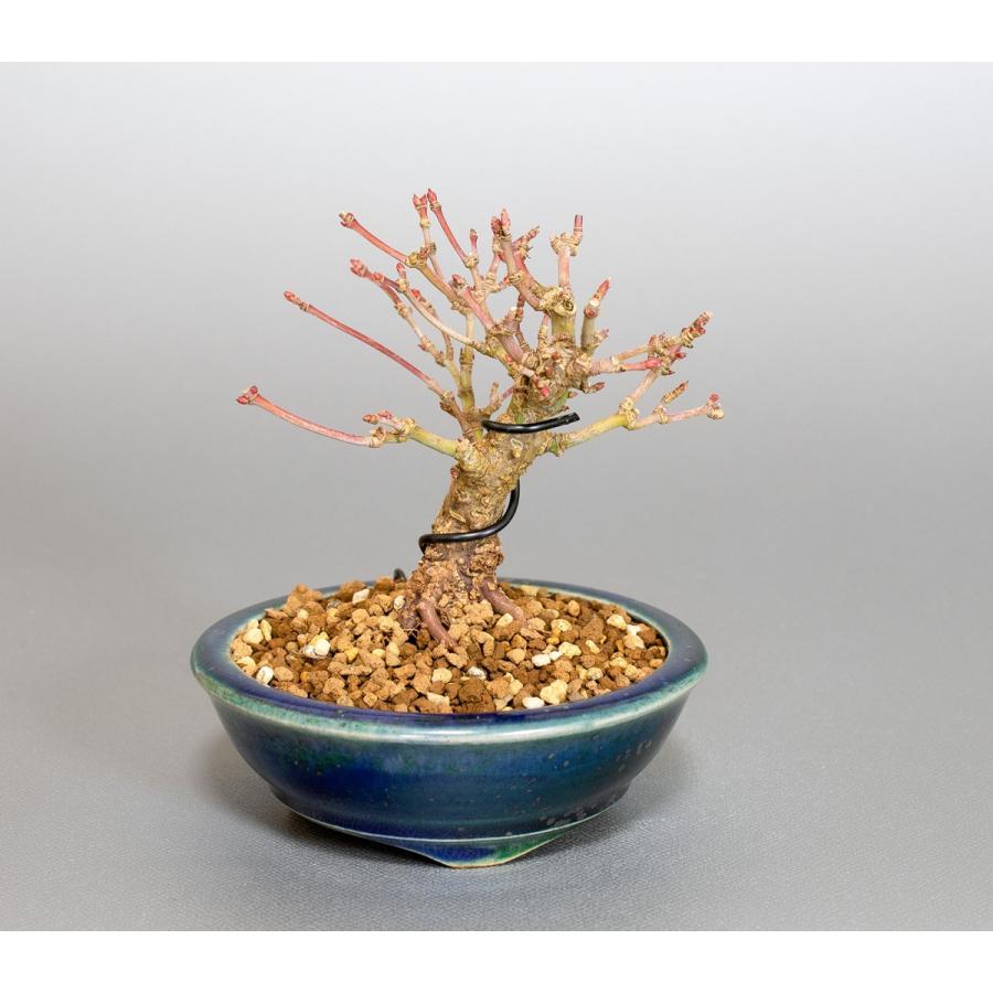 ミニ盆栽 イロハモミジ盆栽 紅葉(いろは紅葉・小さな盆栽 紅葉)4050 e-bonsai 05