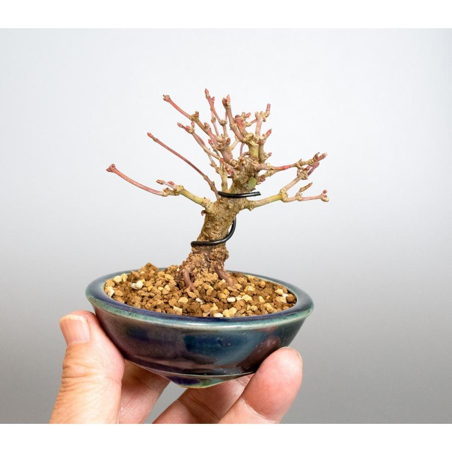 ミニ盆栽 イロハモミジ盆栽 紅葉(いろは紅葉・小さな盆栽 紅葉)4050 e-bonsai 06