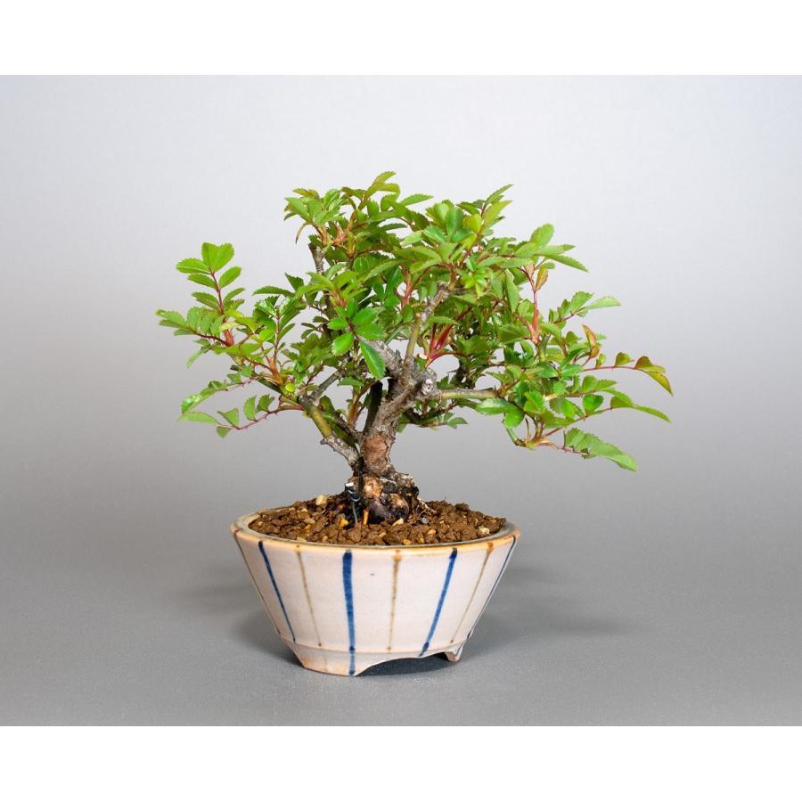 盆栽 ノバラ盆栽 野ばら (のばら・盆栽 野薔薇)小品盆栽 4072|e-bonsai|04